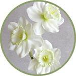 Нарциссы - цветы для декора